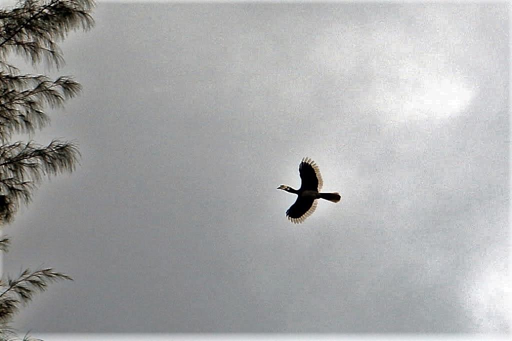 Name:  Fliegender Hornbill.jpg Hits: 114 Größe:  120,9 KB